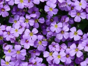 violet_1425430836